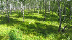 Flying through summer birch forest Stock Footage