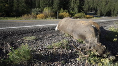 View of a dead deer by the side of a wilderness road - stock footage