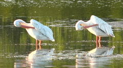Beautiful shorebirds preen in the golden light along the  shallows of the Stock Footage