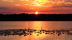 Stock Video Footage of Shorebirds at sunset along the wetlands of Florida's coast.