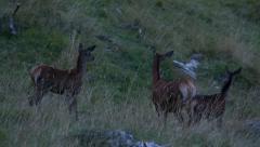 Three deers in a meadow Stock Footage