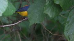 Footage of Bird (Orange-bellied Flowerpecker), Thailand Stock Footage