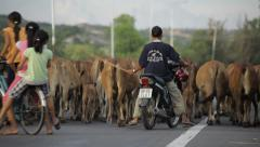 Shepherd on a motorbike drives a herd of cows on asphalt road in Mui Ne, Vietnam Stock Footage