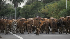 Herd of cows walking along a paved road  in Mui Ne,  Vietnam. Stock Footage