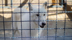 White wolf behind the bars Stock Footage