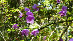 Rhododendron flowers close up Stock Footage