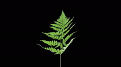 Time-lapse of drying Fern leaves in RGB + ALPHA matte - stock footage
