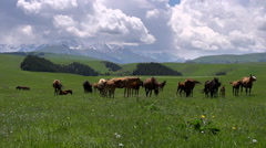 Mares with Foals Grazing HD Stock Footage