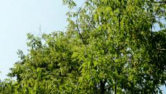 Camera focus the crowns of the deciduous trees in the countryside Stock Footage