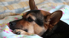 Puppy of dog portrait: closeup potrait of a dog on the bed Stock Footage