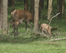 Red Deer (cervus elaphus) hind with calves in shade at forest edge Stock Footage