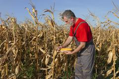 Agricultural scene, farmer or agronomist inspect corn field - stock photo