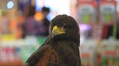 Buzzard hawk close-up in department store, buzzard hawk close-up (buteo buteo), Stock Footage