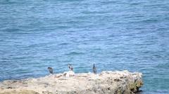 Cormorants on a rock Stock Footage