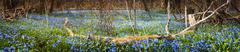 Carpet of blue flowers in spring forest - stock photo