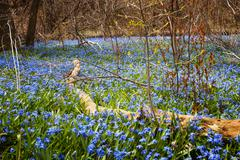 Spring blue flowers wood squill - stock photo