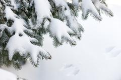 Snow on winter evergreen branches - stock photo