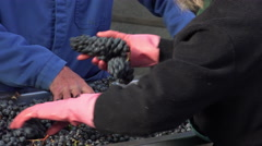 Manual sorting of red grapes Stock Footage