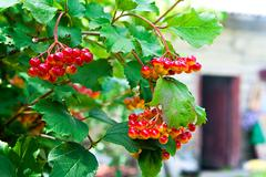 Close up of bunch of red berries of a Gu elder rose or Viburnum opulus shrub. Stock Photos