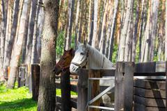 Two horses standing at the paddock - stock photo