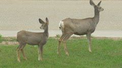 Wild White Tail Adult Deer & Baby Fawn In Front Yard Garden Street Hand Held Stock Footage