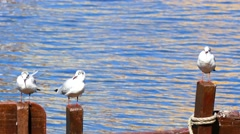 River gulls resting on the coastline of river Stock Footage