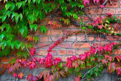 Ivy climbing on brick wall Stock Photos