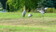 Two Male Sandhill Cranes Competing, Showing Off for Female - stock footage