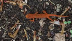 Eastern Newt Upload. - stock footage