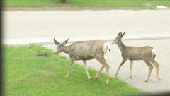Wild White Tail Deer & Fawn On Front Yard Garden Grass Hand Held Through Window Stock Footage