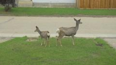 Wild White Tail Adult Deer & Baby Fawn In Front Yard Garden Street Slow Motion Stock Footage