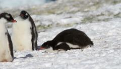 Gentoo Penguin Stock Footage