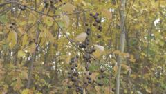 Berries In Tree Hanging On Branches Leaves Blowing In Wind Autumn Pan Up - stock footage