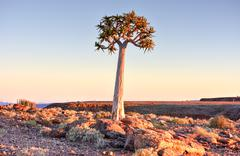 Quiver Tree - Namibia - stock photo