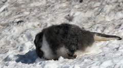 Penguin in the snow Stock Footage
