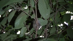 Siau Island Tarsier in tree and jumps in the evening 2 Stock Footage
