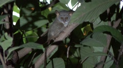 Siau Island Tarsier in tree looking around in the evening 10 Stock Footage