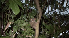 Siau Island Tarsier in tree looking around in the evening 14 Stock Footage
