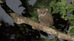 Siau Island Tarsier in tree looking around in the evening 15 Stock Footage