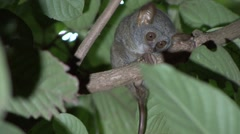 Siau Island Tarsier in tree looking around in the evening 2 Stock Footage