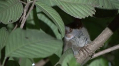 Siau Island Tarsier in tree looking around in the evening 3 Stock Footage