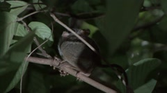 Siau Island Tarsier in tree looking around in the evening 8 Stock Footage
