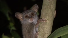Siau Island Tarsier in tree looking around in the night 2 Stock Footage