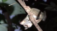 Siau Island Tarsier in tree 1 Stock Footage
