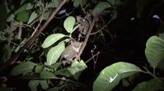 Siau Island Tarsier move in tree in the evening 5 Stock Footage