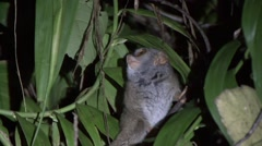 Siau Island Tarsier move in tree in the night 3 Stock Footage