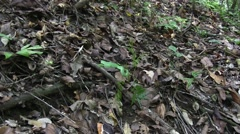 Wagler's Pit Viper on rainforest floor 1 Stock Footage