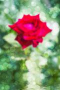 blurred rose flower with falling rain - stock photo