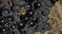 Red grape at perfect ripeness Stock Footage