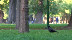 Crow, raven in lawn, public park, gardens - sunny autumn afternoon 2 Stock Footage